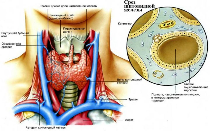 Что такое аутоиммунный тиреоидит щитовидной железы