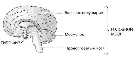 в клетках задней доли гипофиза запасаются гормоны