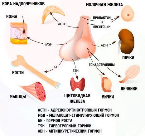 Гормоны гипофиза и органы-мишени