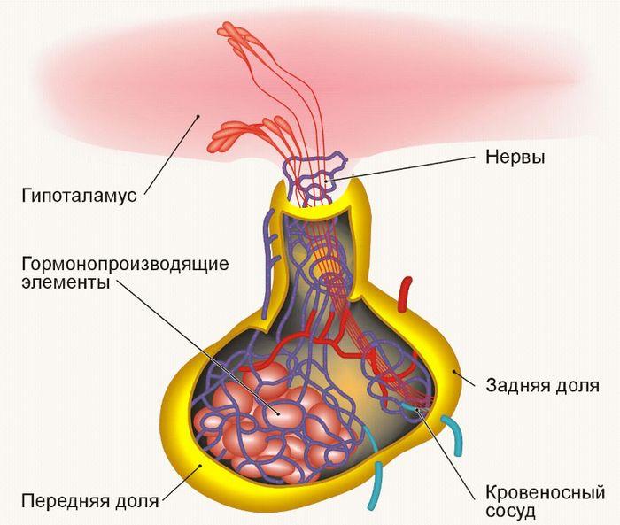 гормоны препараты