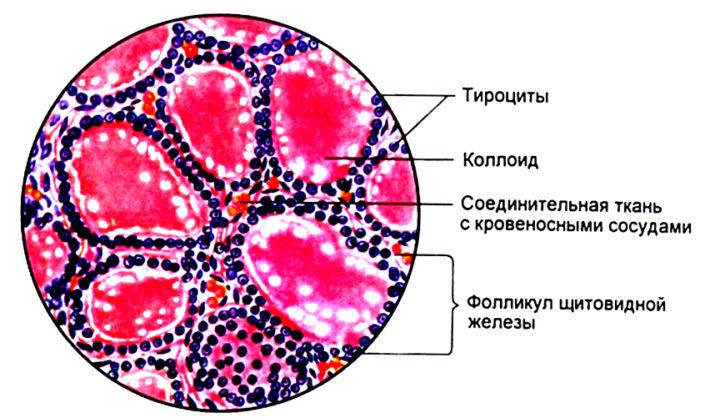 макрофолликулы щитовидной железы