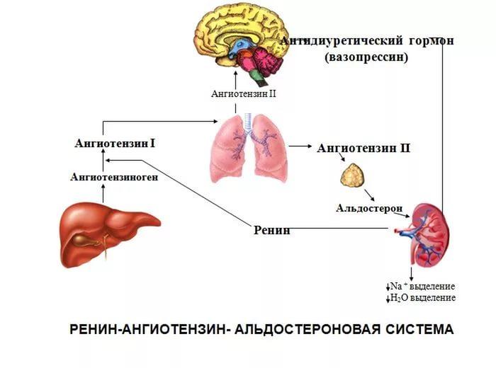 альдостерон рениновое соотношение