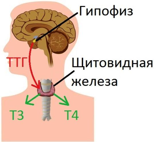 функции щитовидной железы в организме человека