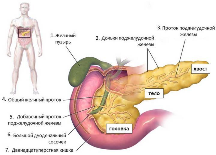 Какой орган вырабатывает инсулин | Как работает поджелудочная ...
