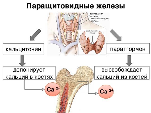 паратиреоидный гормон
