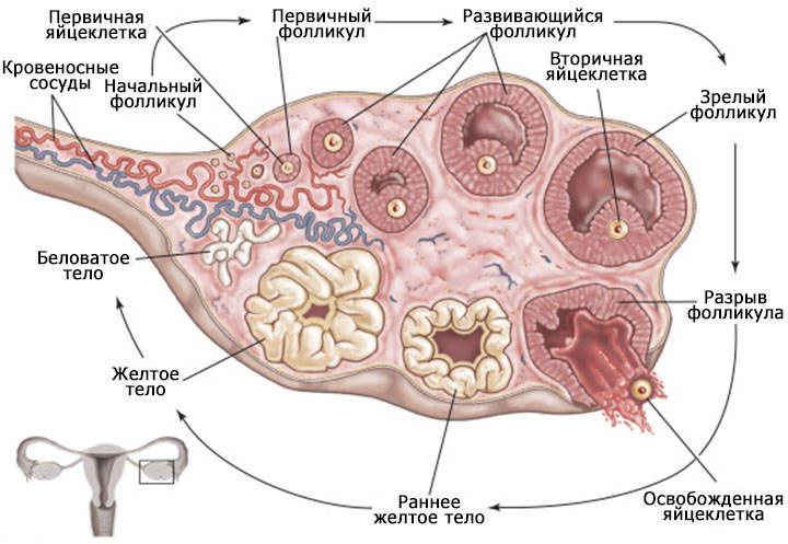 сколько созревает яйцеклеток при стимуляции